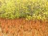 Mangrove II